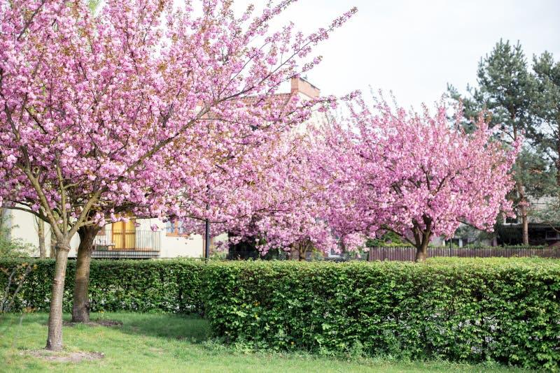 Красивый вишневый цвет Сакура на предпосылке природы Японские вишневые цвета во время весны Дерево цветка стоковое изображение rf