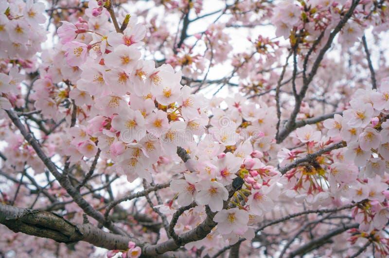 Красивый вишневый цвет цветет весной время, предпосылка природы стоковые изображения