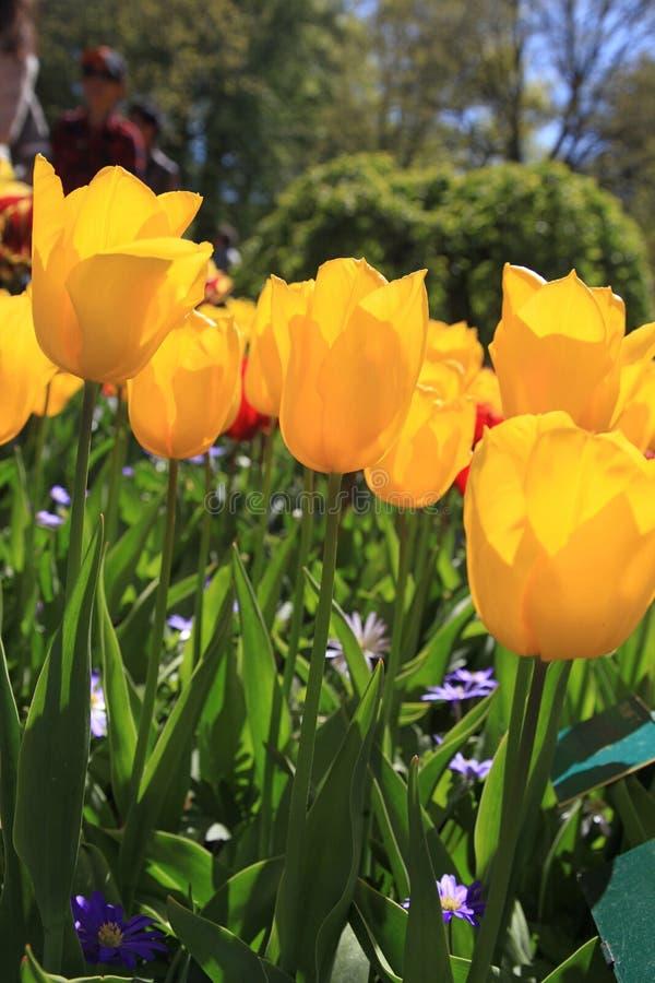 Красивый вид желтого сада крупного плана тюльпанов весной стоковые фото