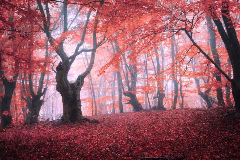 Красивый волшебный красный лес в тумане в осени Ландшафт сказки стоковое фото