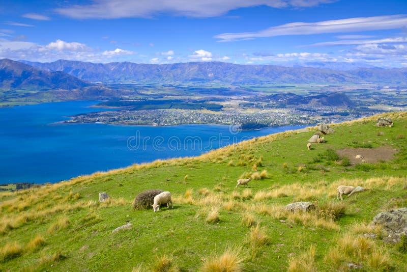 Красивый выгон овец в Новой Зеландии стоковое фото rf