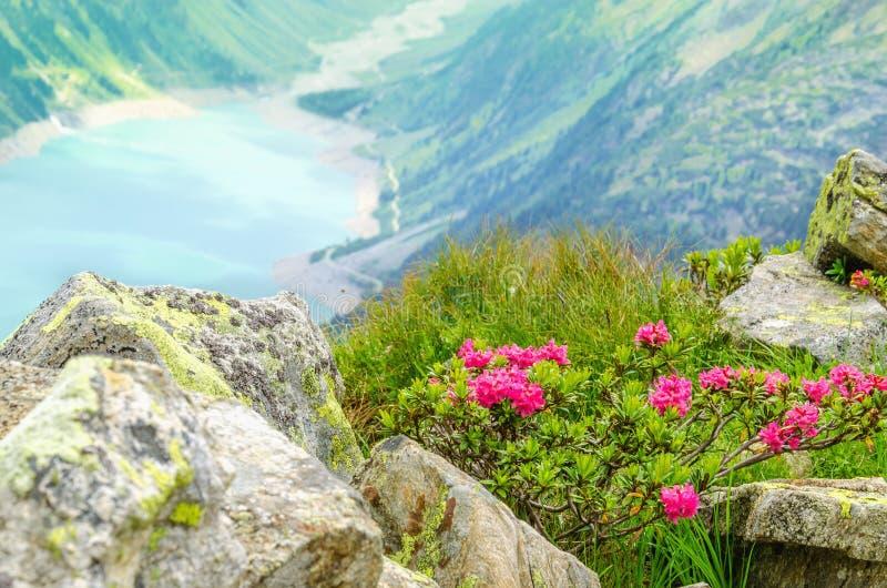 Красивый высокогорный ландшафт цветет Альпы, Австрия стоковые изображения