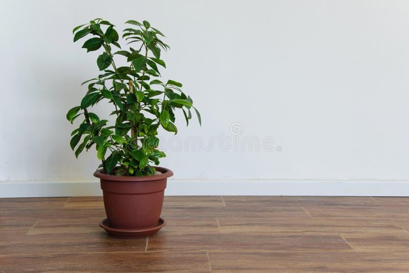 Красивый в горшке завод в пустой комнате, простой интерьер Gardenia стоковое изображение
