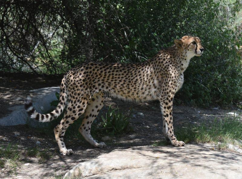 Красивый гепард балансированный в неподвижности перед бегом стоковое изображение