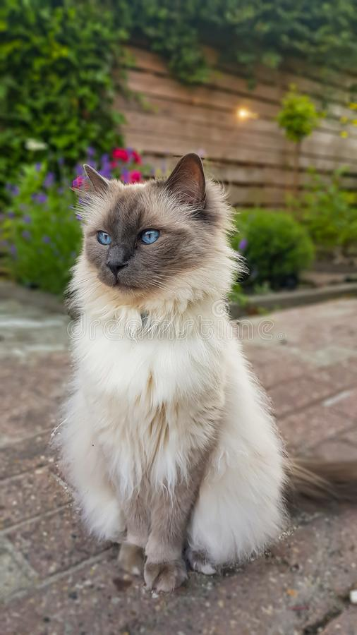 Красивый голубой наблюданный портрет кота Ragdoll на открытом воздухе стоковые фото