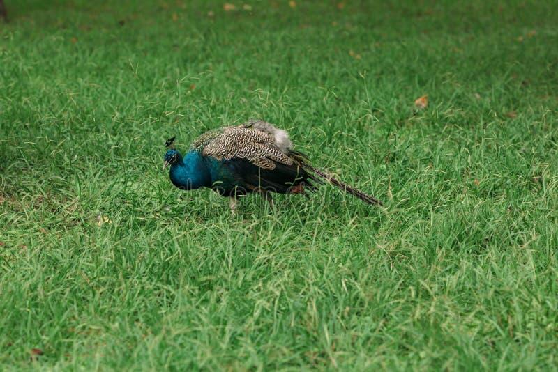 Красивый голубой павлин на идти зеленой травы стоковые фотографии rf