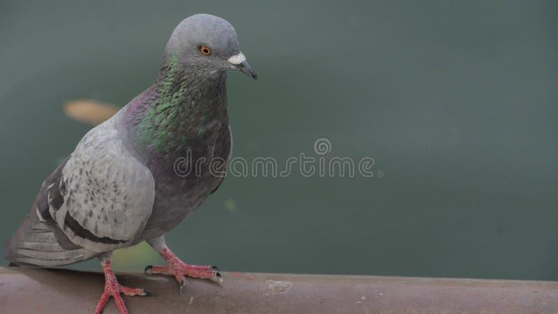 Красивый голубь в парке как птичий грипп несущей стоковое фото