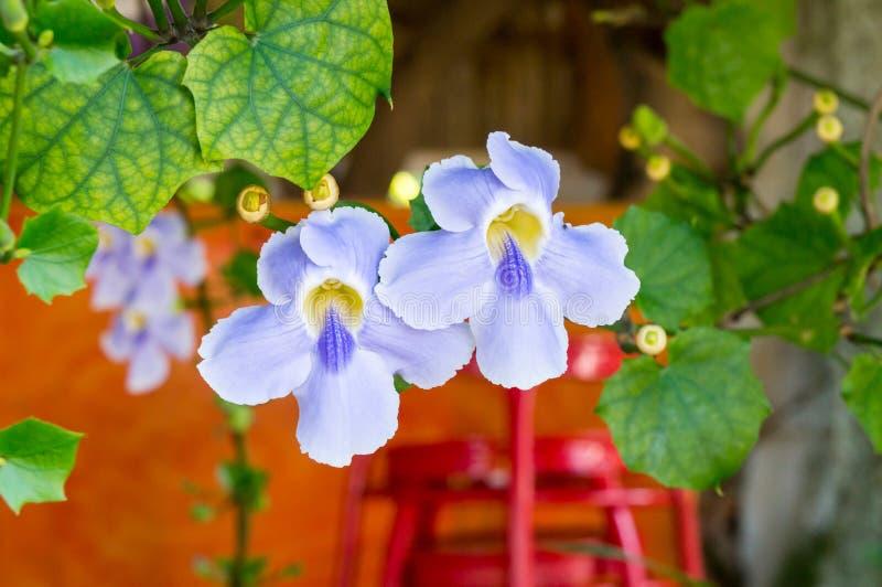 Красивый голубой фиолетовый мягкий славный цветок лозы часов лавра, голубой лозы трубы, laurifolia Thunbergia травы холодные в Та стоковое изображение