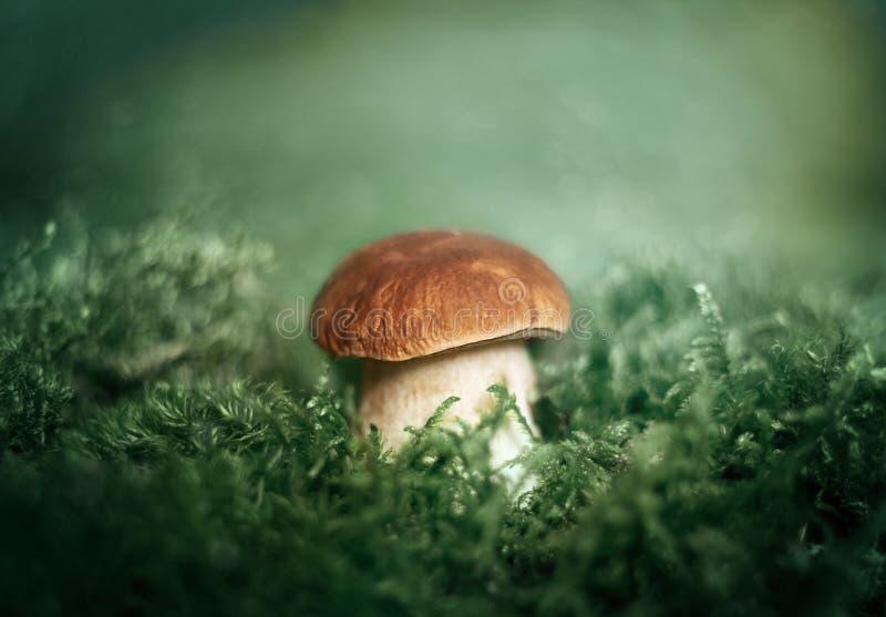 Красивый гриб на зеленом конце предпосылки вверх Съестной очень вкусный подосиновик edulis, плюшка гриба пенни, CEP, porcini в ле стоковая фотография