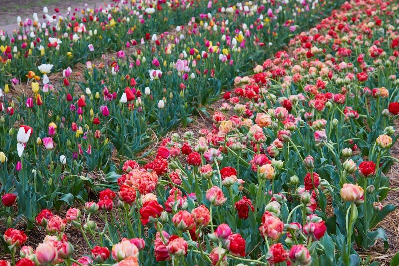 Красивый двойной последний цветок тюльпана с зеленой предпосылкой стоковое изображение rf