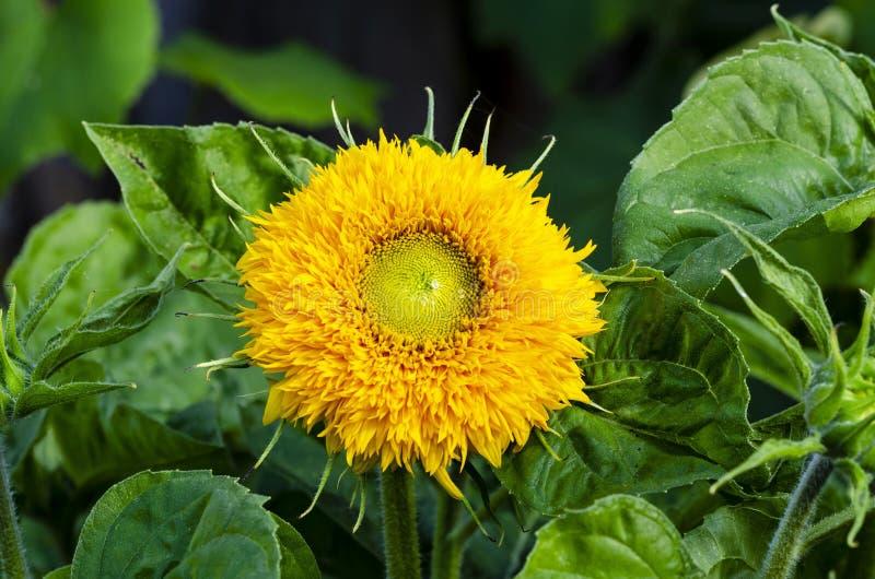 Красивый декоративный солнцецвет в саде стоковая фотография rf