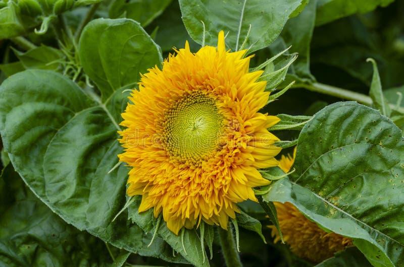 Красивый декоративный солнцецвет в саде стоковое фото rf