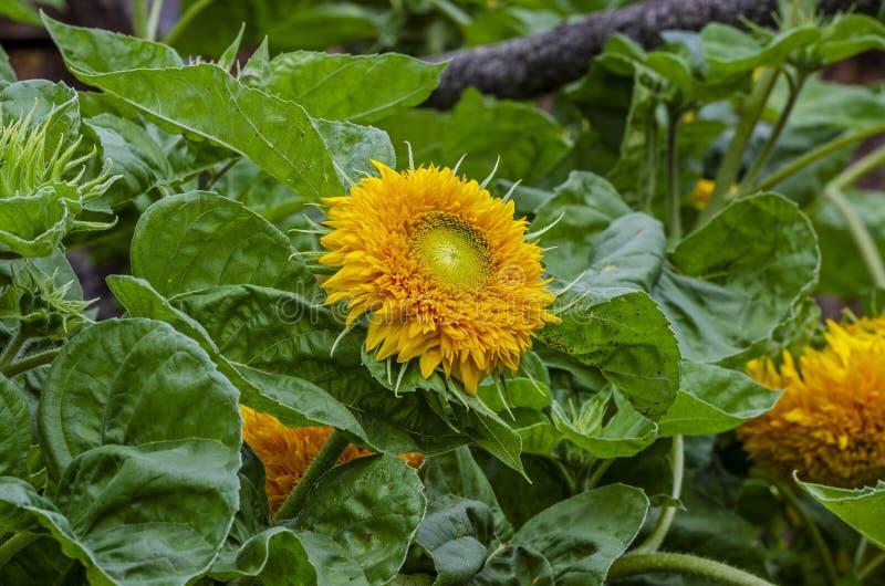 Красивый декоративный солнцецвет в саде стоковое изображение rf