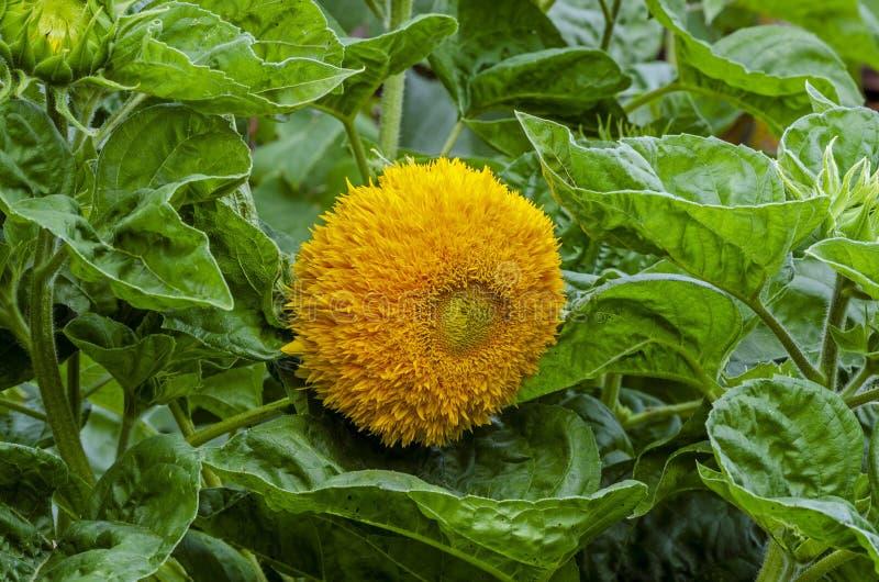 Красивый декоративный солнцецвет в саде стоковое фото