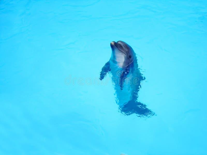 Красивый дельфин в открытом море скопируйте космос angoras стоковые изображения