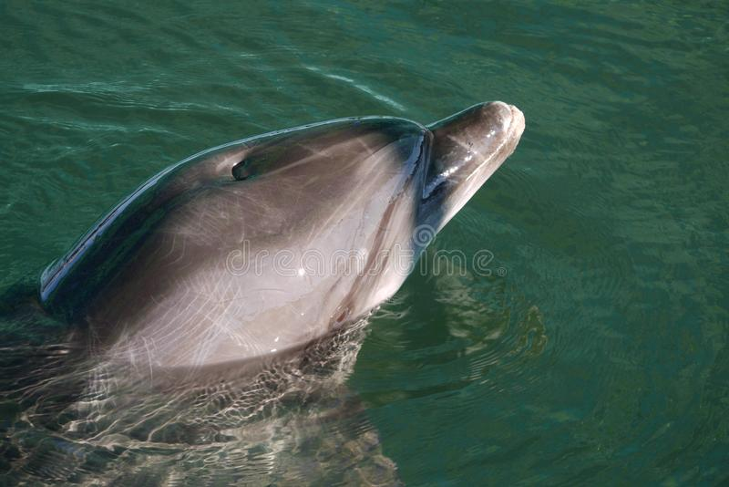Красивый дельфин плавая в ясную лазурную воду сжимал от солнечного света стоковые изображения