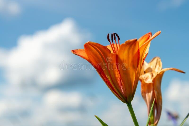 Красивый дикий зацветая оранжевый расти цветков лилии в зеленой траве на голубой предпосылке облачного неба Красочный, цветене стоковое изображение