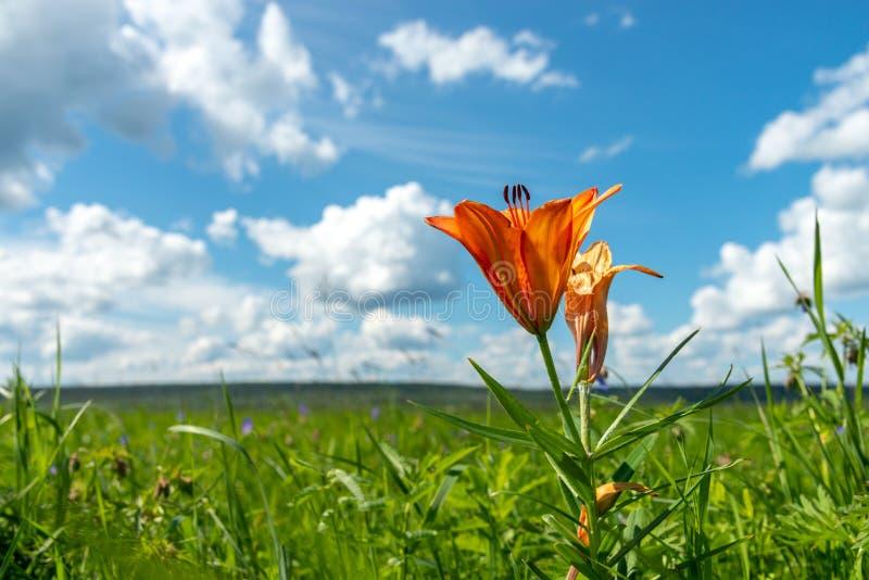 Красивый дикий зацветая оранжевый расти цветков лилии в зеленой траве на голубой предпосылке облачного неба Красочный, цветене стоковая фотография
