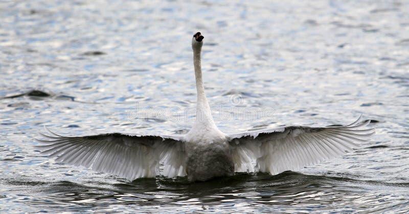 Красивый лебедь распространяет свои крыла стоковое изображение rf