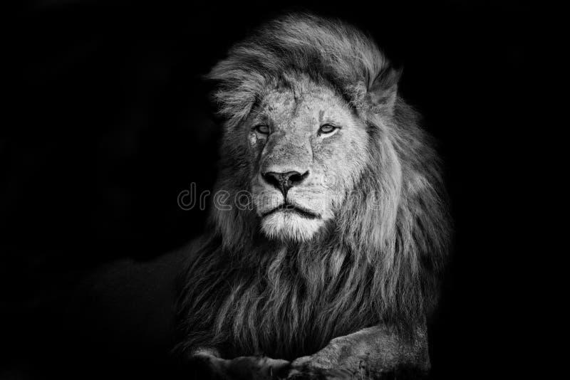 Красивый лев Romeo II стоковое изображение rf