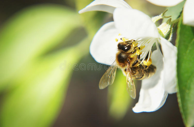 Красивый естественный состав с пчелой на белом цветке стоковая фотография rf
