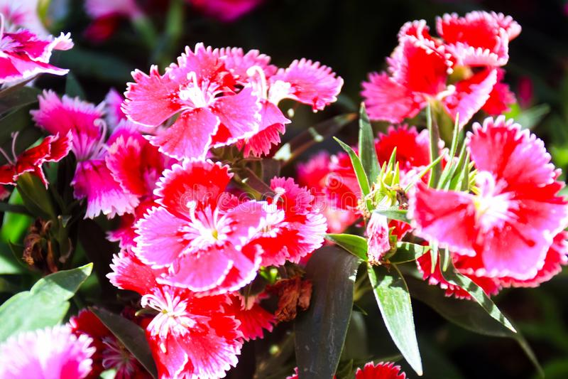 Красивый естественный цветок цвета в саде стоковое фото