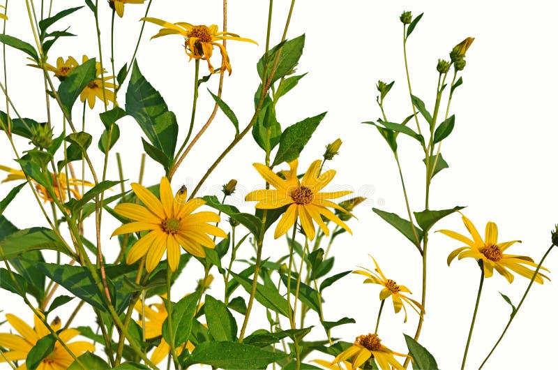 Красивый желтый артишок Иерусалима цветет на белой предпосылке стоковые фотографии rf