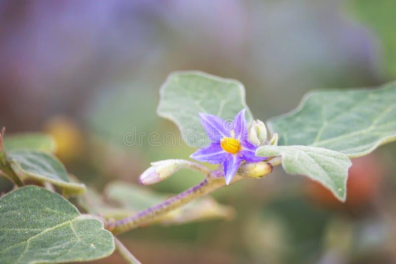Красивый желтый баклажан цветка в саде стоковые изображения