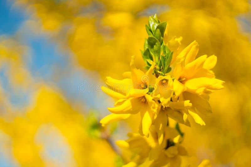 Красивый желтый конец-вверх цветков forsythia на запачканной предпосылке r r Мягкий фокус, выбранный фокус стоковое фото rf