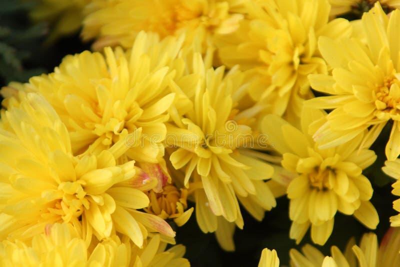 Красивый желтый крупный план цветков хризантемы стоковое фото