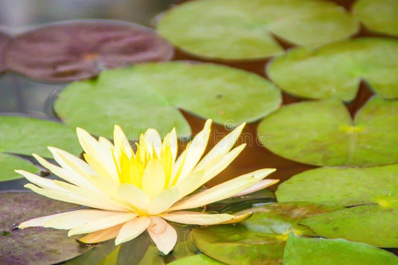 Красивый желтый лотос с зеленым цветом выходит в пруд болота Мирная лилия желтой воды цветет и зеленый цвет выходит на поверхност стоковые фото