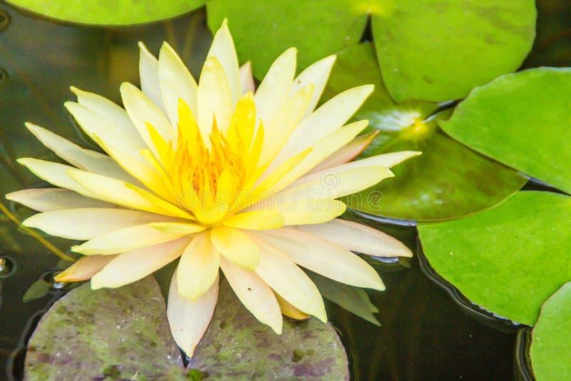 Красивый желтый лотос с зеленым цветом выходит в пруд болота Мирная лилия желтой воды цветет и зеленый цвет выходит на поверхност стоковые изображения