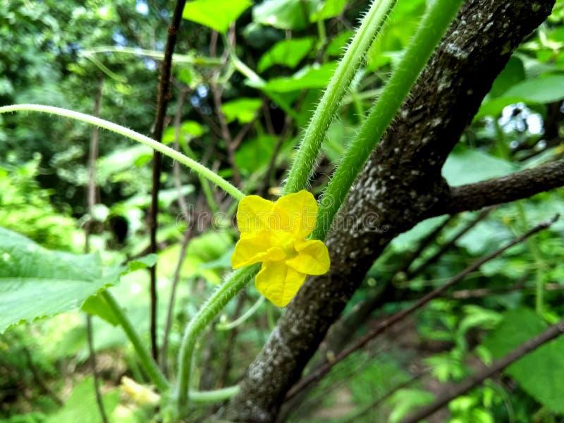 Красивый желтый малый цветок огурца стоковое фото rf