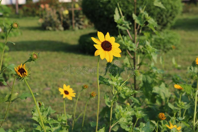 Красивый желтый солнцецвет в Бангладеше Это изображение захватило мной от цветочного сада Rangpur Jamidar Бари стоковые изображения rf