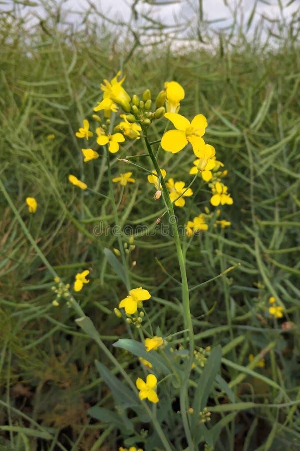 Красивый желтый цветок Небольшая вещь в большой траве стоковое фото rf