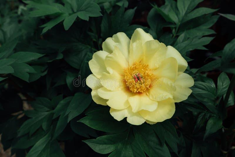 Красивый желтый цветок пиона солнечности Sequestred полностью зацветает в саде, зеленых листьях предпосылке, конце вверх стоковые изображения rf
