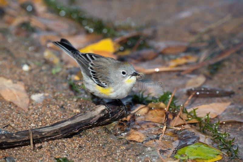 Красивый желтый-rumped зеленый юнец певчей птицы на береге озера стоковая фотография rf