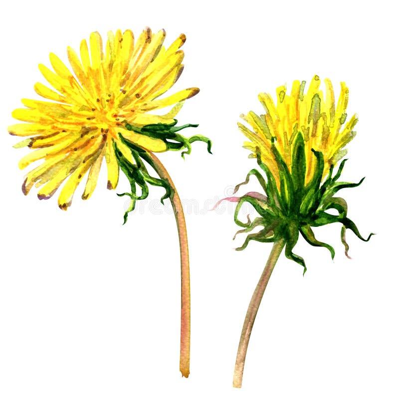 Красивый желтый изолированный одуванчик, иллюстрация цветка акварели иллюстрация штока