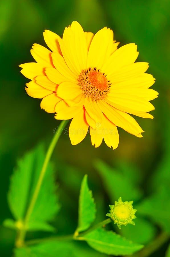 Красивый желтый стоцвет стоковая фотография