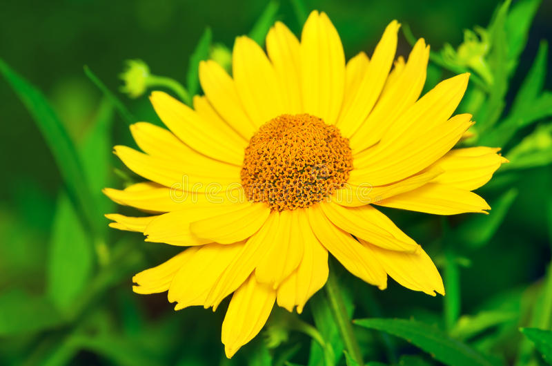 Красивый желтый стоцвет стоковые фотографии rf
