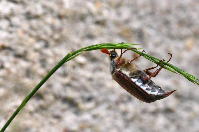 Красивый жук в природе cockchafer Съемка макроса стоковое изображение
