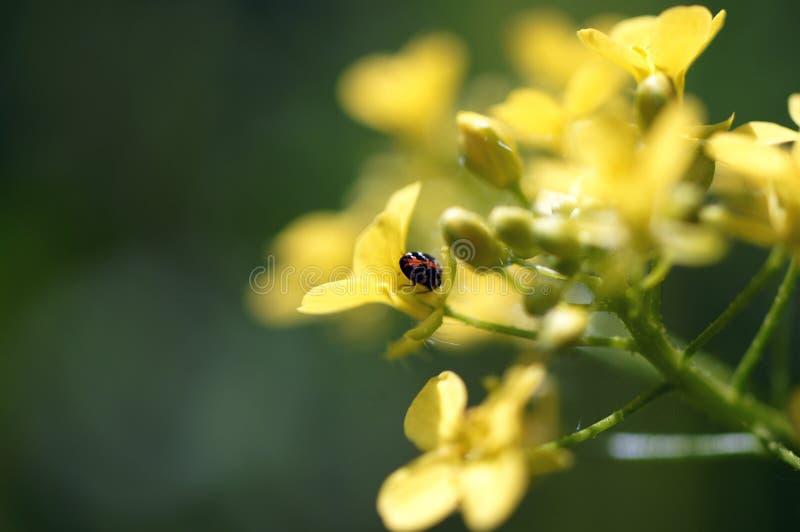 Красивый жук на крошечном желтом цветке стоковые изображения rf