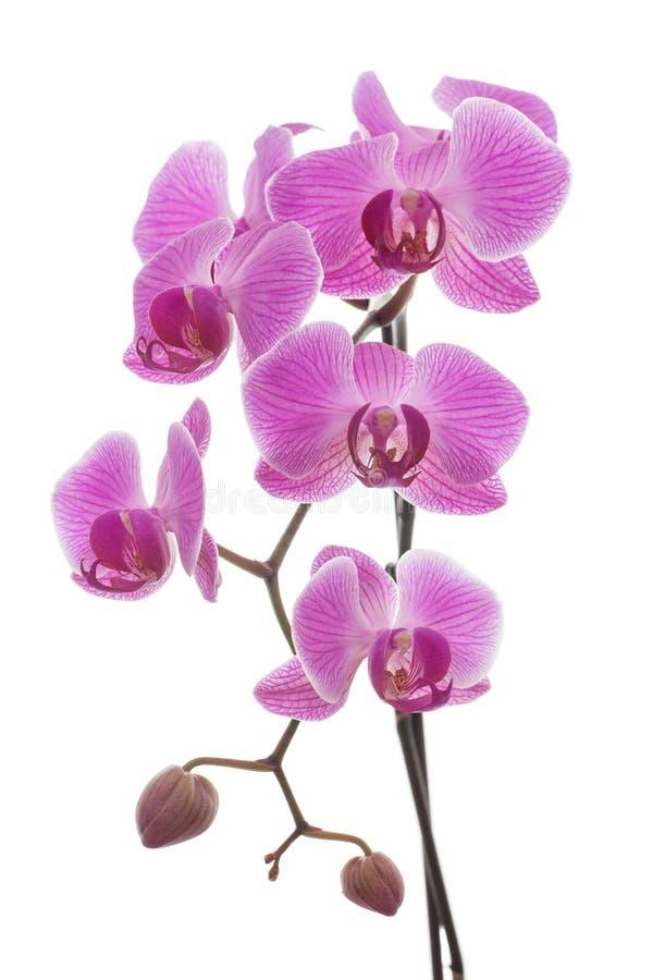 Красивый завод пинка и фиолетовых орхидеи изолированный на белой предпосылке Флористические благоухание, хрупкость и идея проекта стоковые фотографии rf