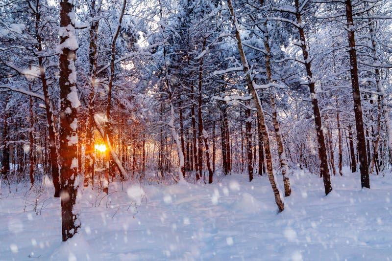 Красивый заход солнца в лучах Солнца леса зимы снежного делает их путь через деревья стоковое фото