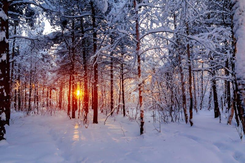 Красивый заход солнца в лучах Солнца леса зимы снежного делает их путь через деревья стоковые фотографии rf