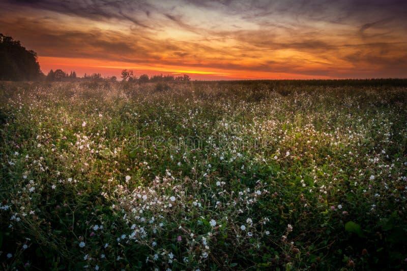 Красивый заход солнца над полем вполне цветков стоковая фотография