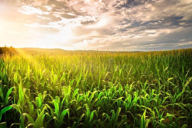 Красивый заход солнца после полудня над кукурузным полем в Теннесси стоковое фото