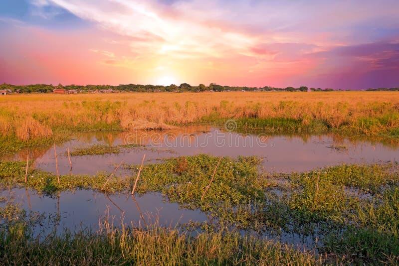 Красивый заход солнца на рисе fields около Янгона Мьянмы стоковые фото