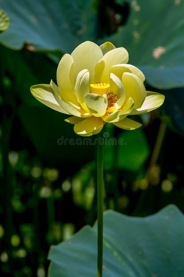 Красивый зацветая желтый цветок пусковой площадки лилии воды лотоса стоковая фотография rf