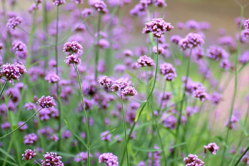 Красивый зацветая пурпурный цветок вербены в саде стоковое фото rf